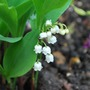 Convallaria majalis... (Convallaria majalis (Lily of the valley))