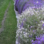 Rock wall with aubretia and arabis