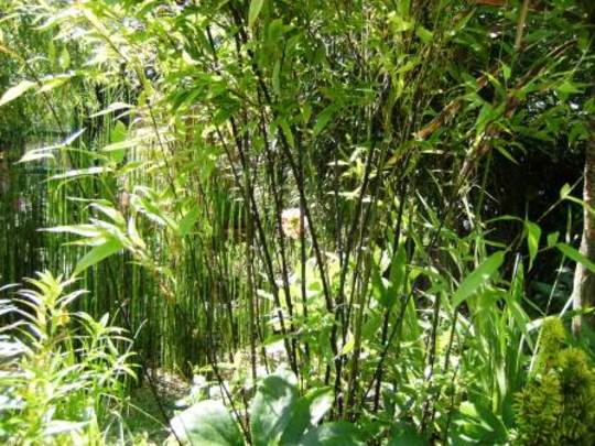 Black Bamboo (Phyllostachys nigra (Black bamboo))