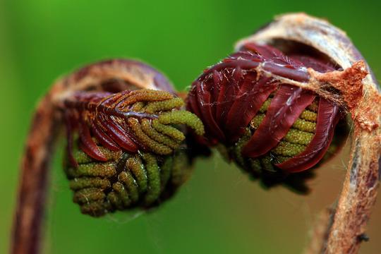 Kiss (Osmunda regalis (Flowering fern))