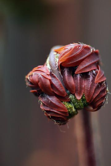 Osmunda regalis 'Purpurascens' (Osmunda regalis (Flowering fern))