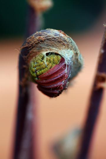 Osmunda regalis 'Purpurascens' New Life (Osmunda regalis (Flowering fern))