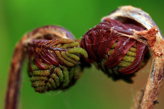 My Osmunda regalis (Osmunda regalis (Flowering fern))