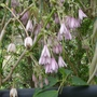 Holboellia_latifolia_3_2014