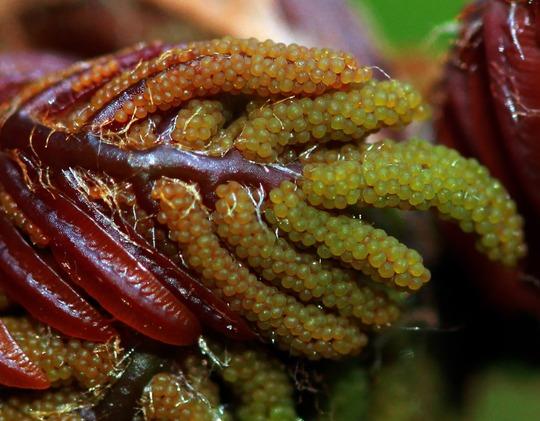 Close up: Osmunda regalis 'Purpurascens' (Osmunda regalis (Flowering fern))