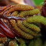 Close up: Osmunda regalis 'Purpurascens' (Osmunda regalis (Flowering fern))