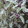 Pittosporum 'Garnettii' - 2014 (Pittosporum 'Garnetii')
