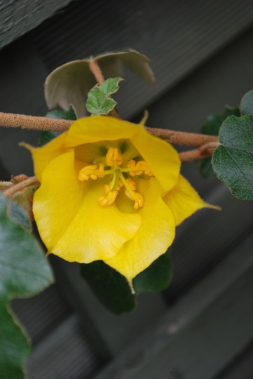Fremontodendron California Beauty.. (Fremontodendron californicum (California Beauty))