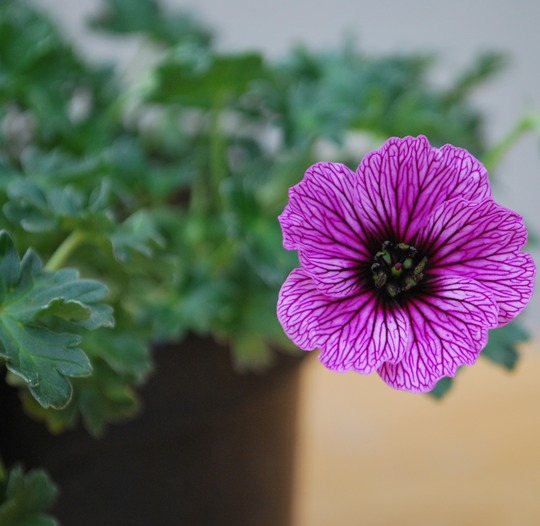 Geranium cinereum Lawrence Flatman.. (Geranium cinereum (Hardy geranium))