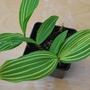 Lily_of_the_valley_variegata..