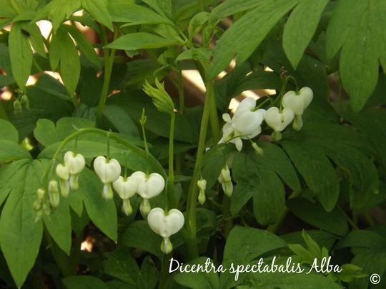 Dicentra spectabalis Alba (Dicentra spectabilis 'Alba')