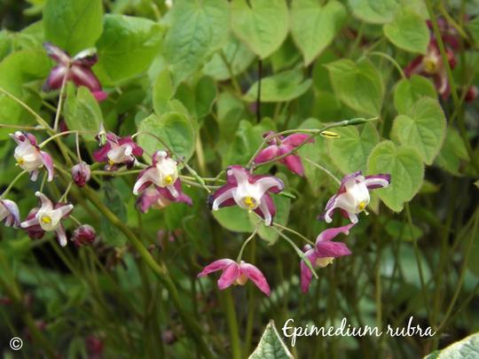 Epimedium rubra (Epimedium x rubrum)