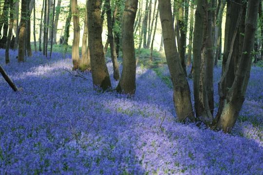 Ian's Bluebell Wood.