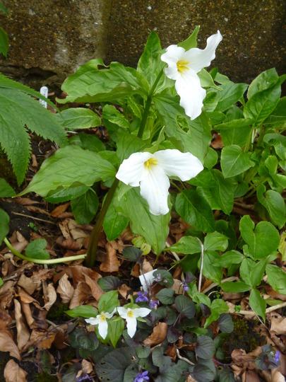Trillium and violets (Trillium grandiflorum (Wake robin))