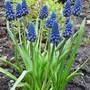 Muscari (?latifolium/aucheri) (Muscari latifolium)