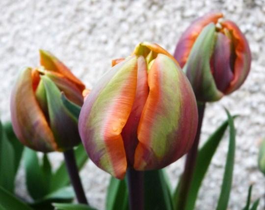 Tulip 'Orange Princess' (Tulip)