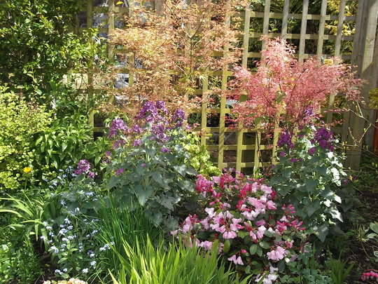 Rhododendron Bow Bells Flanked By Lunaria