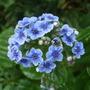 Myosotidium_hortensia
