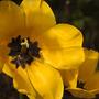Mutant tulips