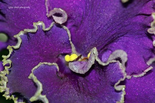 Purple wavy african violet flower.