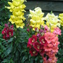 Snap Dragons (snapdragon)