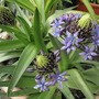 Scilla peruviana...bit closer ; )