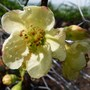 Chaenomeles x superba 'Lemon and Lime' (Chaenomeles x superba (Flowering quince))