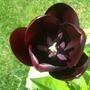 "Tulip ""Queen of Night"""