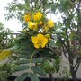 sophora Micropylla