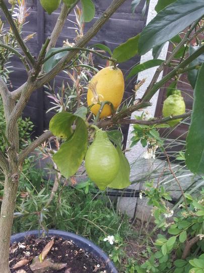 Lemon.................
