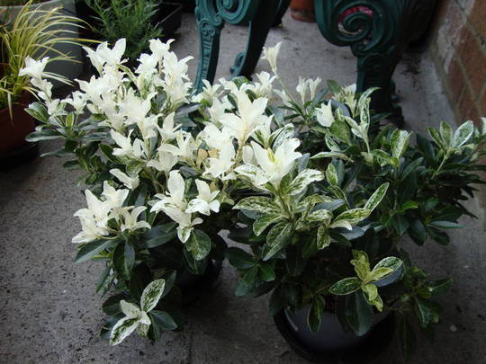 Euonymus pierrolino