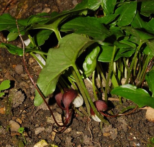 Asarum proboscideum (Asarum proboscideum)