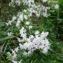 Rhododendron_ptarmigan_2014