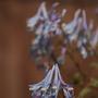 Corydalis flexuosa (Corydalis flexuosa (Corydalis))