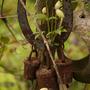 Baby Clematis montana