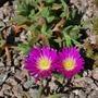 Delosperma cooperi.... (Delosperma cooperi (Hardy Ice Plant))