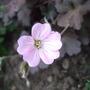 Geranium_dusky_rose_flower