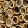 Bees now hatched from last year in the bee box