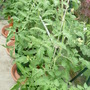 tomatoes growing well in greenhouse,