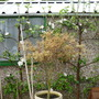 espalier apple trees with blossom