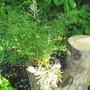 Dryopteris Linearis Polydactyla (Dryopteris filix-mas (Male fern))