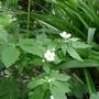 Ranunculus_aconitifolius_2014