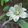 Clematis_guernsey_cream_young_flower_