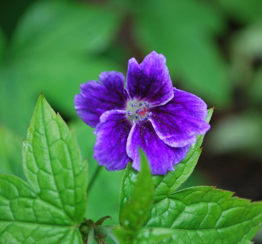 Geranium nodosum Blueberry Ice... (Geranium nodosum Blueberry Ice.)