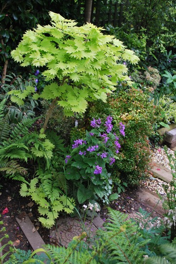 Andrew, my happy accident the honesty looks great with the Acer and the fern... (Lunaria annua (Honesty))