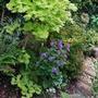 Lunaria annua (Honesty)