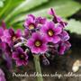 Primula_calderiana_subsp._calderiana