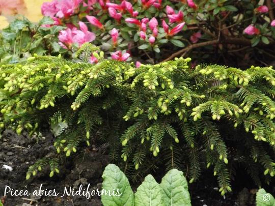 Picea abies Nidiformis (Bird's nest spruce) (Picea abies (Norway spruce))