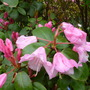 Rhodies_may_2014_005