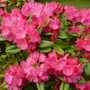 Rhodies_may_2014_001